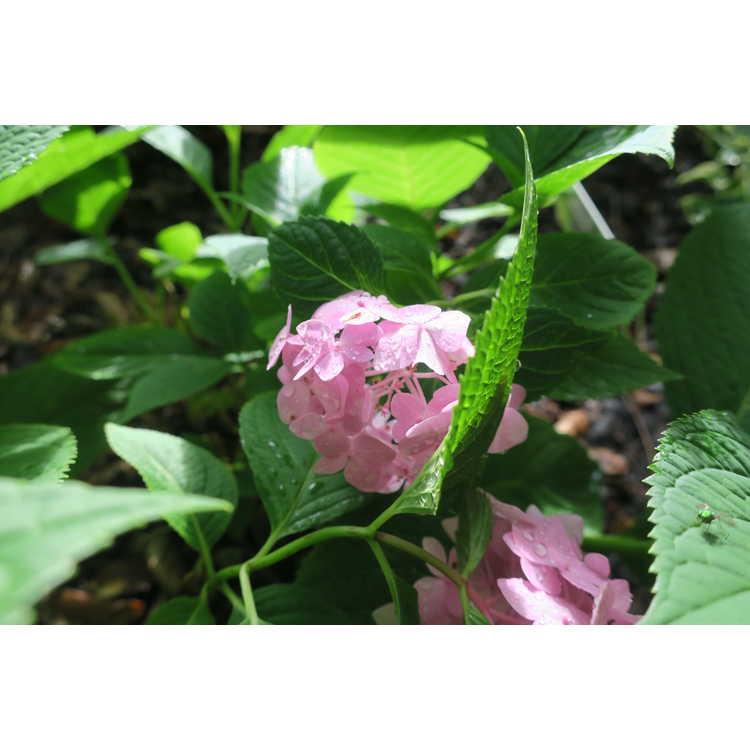Hydrangea macrophylla Oak Hill