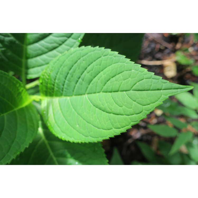 Hydrangea macrophylla 'Oak Hill' - French hydrangea