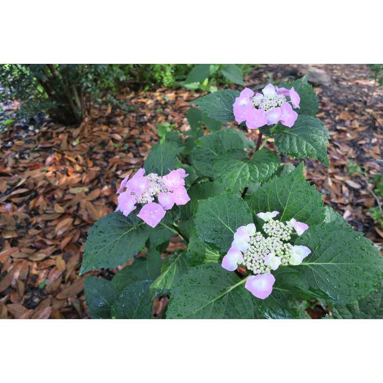 Hydrangea macrophylla Zorro