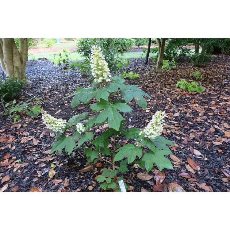 Hydrangea quercifolia JoAnn Gatsby Pink