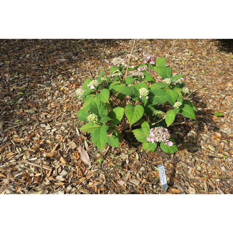 Hydrangea macrophylla Piihm-I Twist-n-Shout