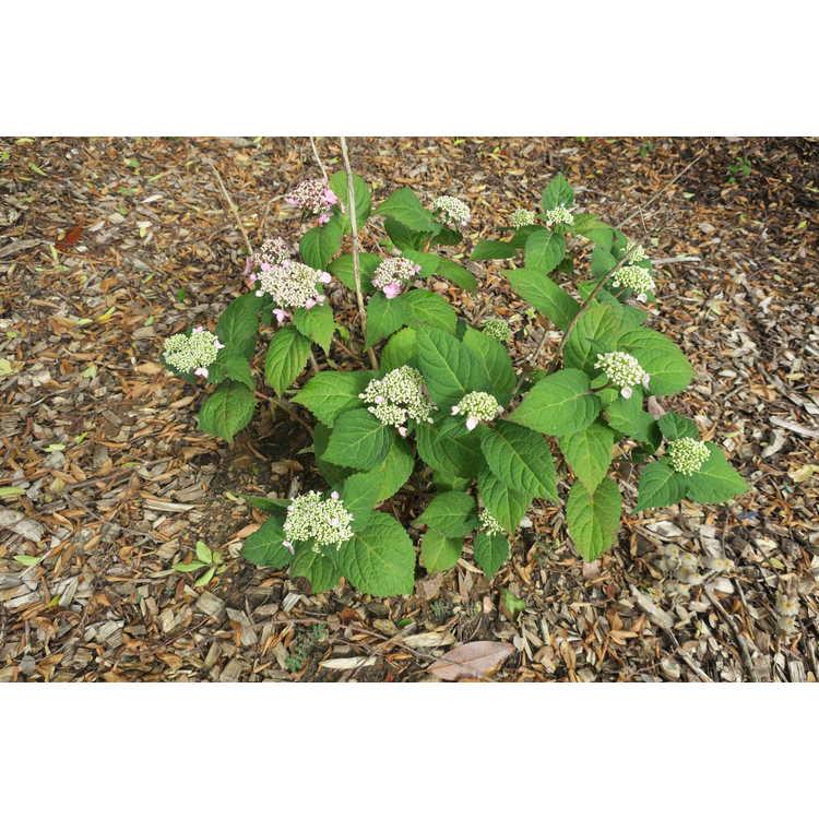 Hydrangea macrophylla 'Piihm-I' - Twist-n-Shout bigleaf hydrangea