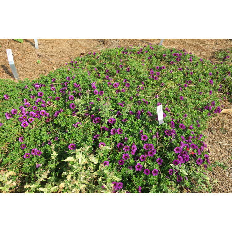 Calibrachoa Superbells Plum Improved