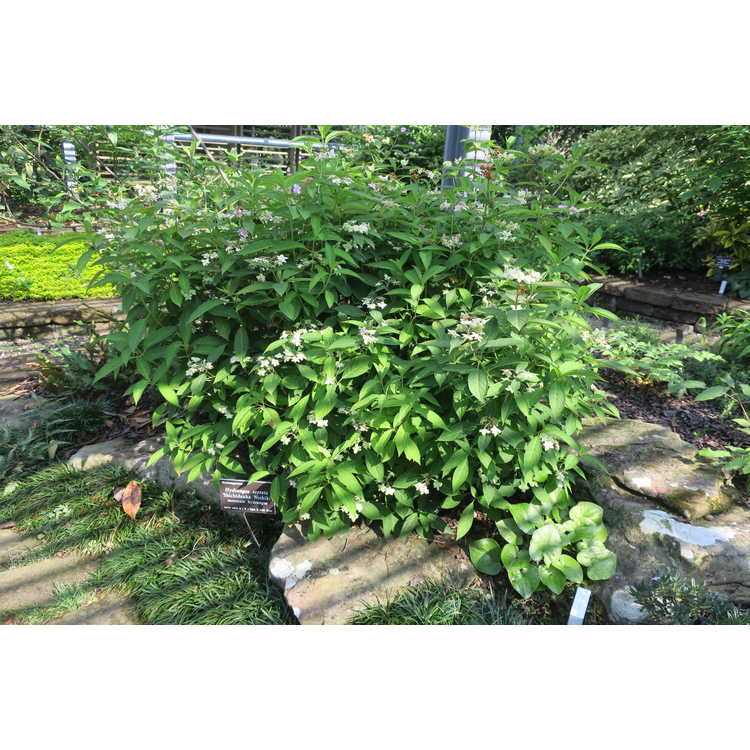Hydrangea serrata Shichidanka Nishiki