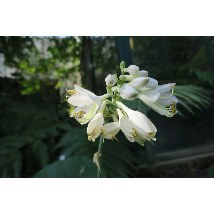 Hosta sieboldiana - von Siebold's hosta