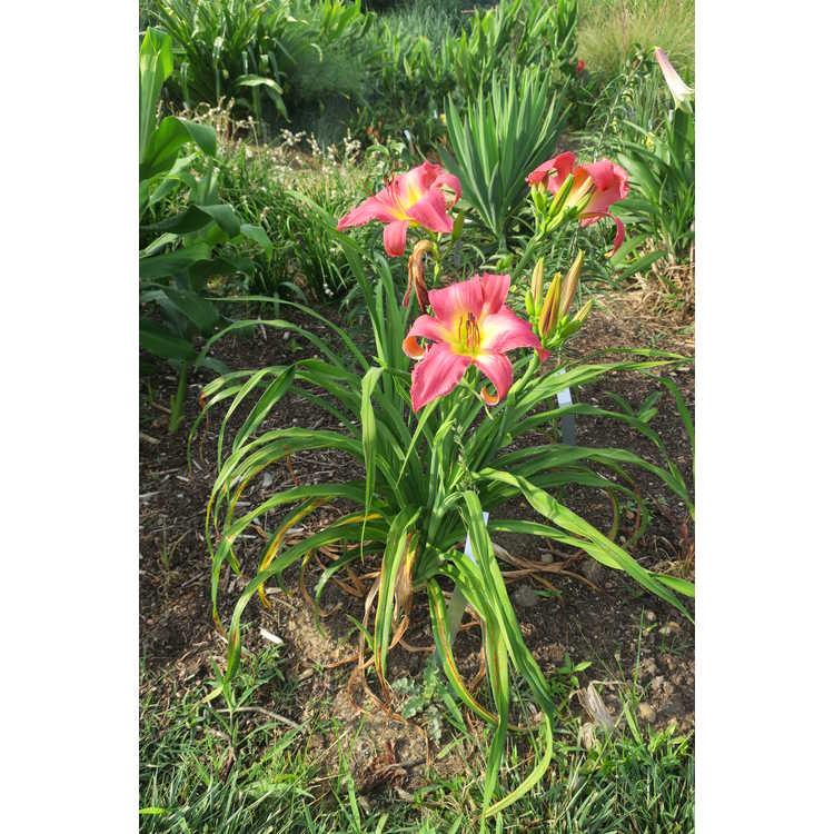 Hemerocallis 'Neon Flamingo'