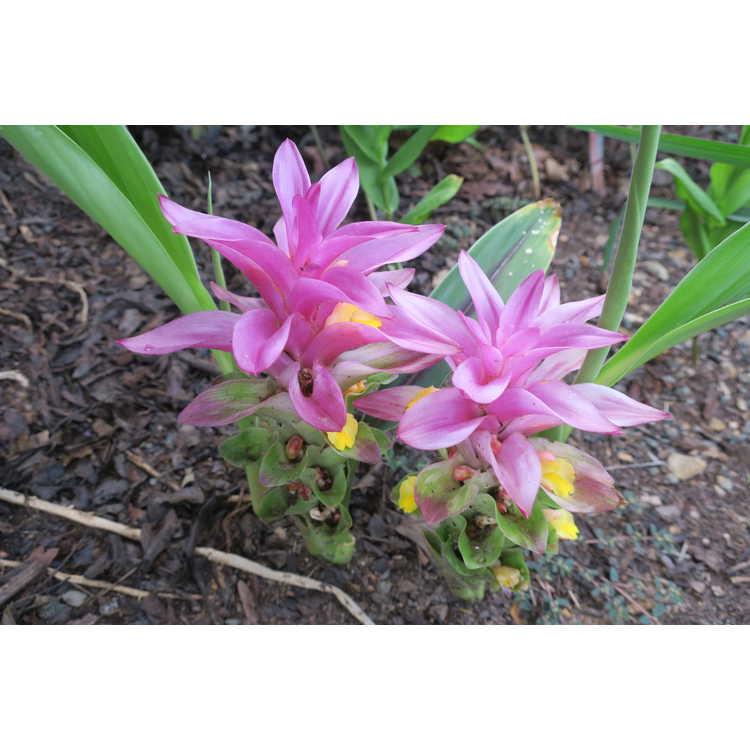 Curcuma Pink Plush