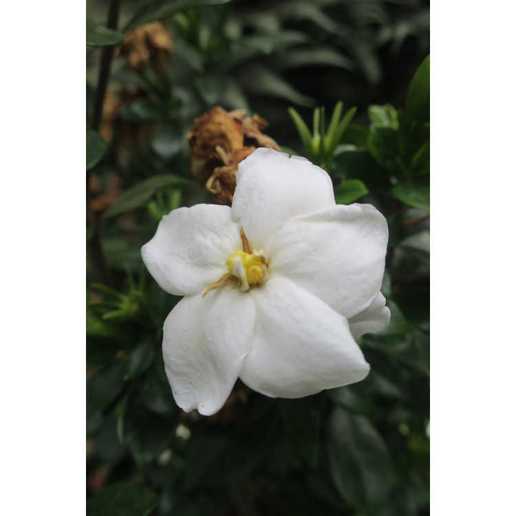 Gardenia 'Prince Charles'