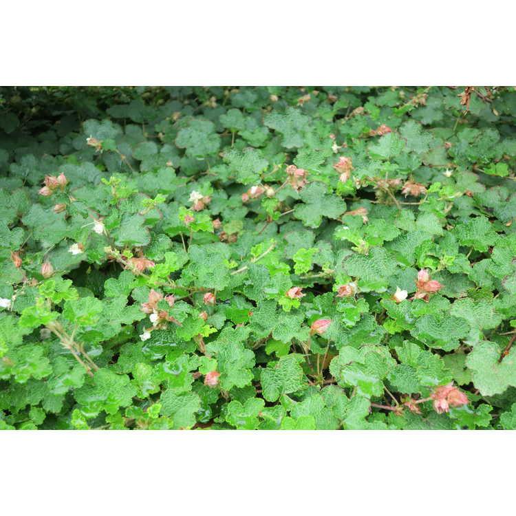 Rubus rolfei - creeping raspberry