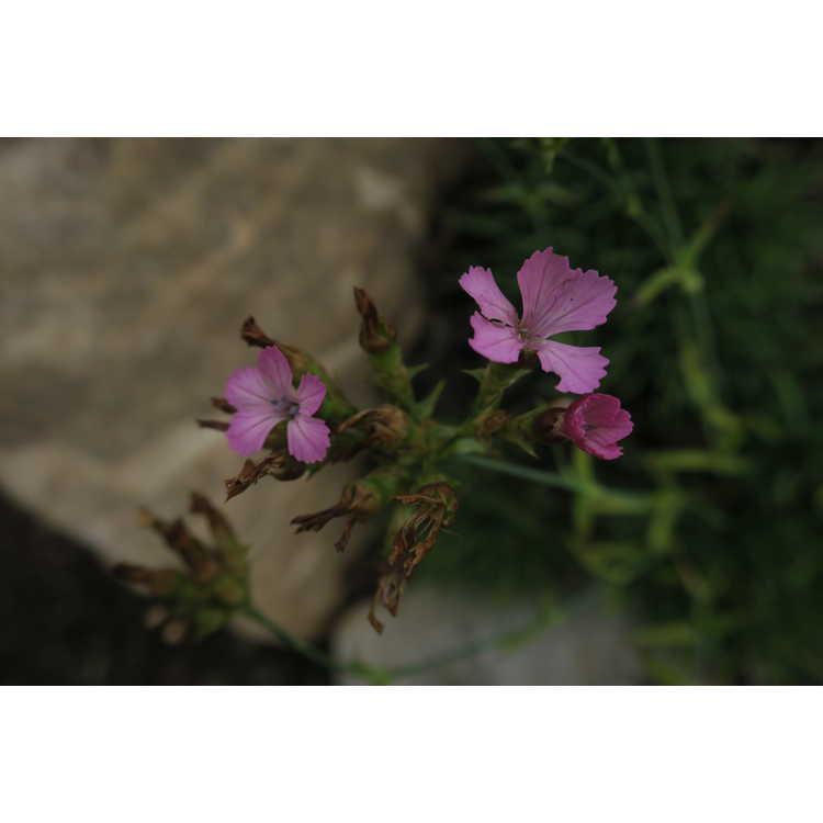 Dianthus henteri