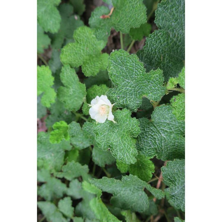 Rubus rolfei