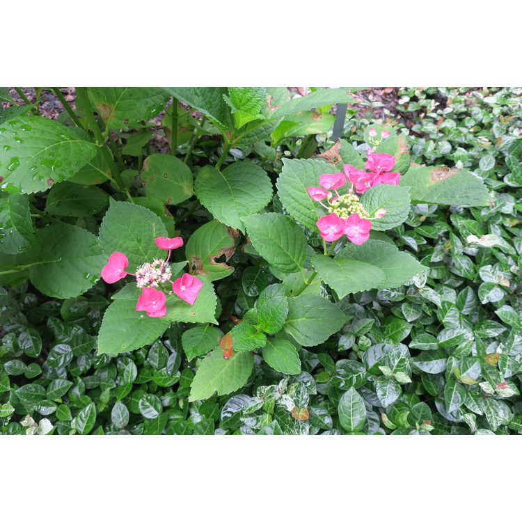 Hydrangea macrophylla 'McKay' - Cherry Explosion bigleaf hydrangea