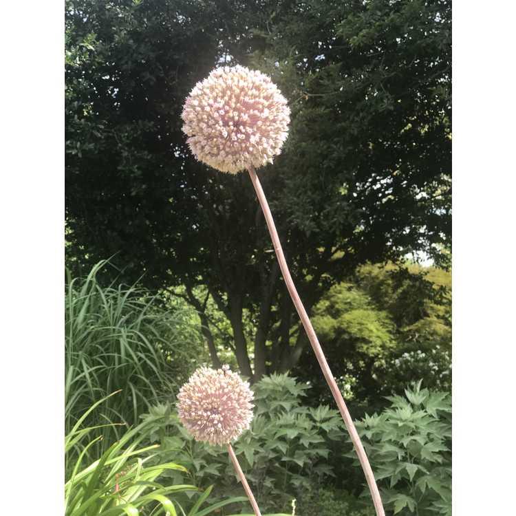 Allium ampeloprasum var. ampeloprasum - great-head garlic