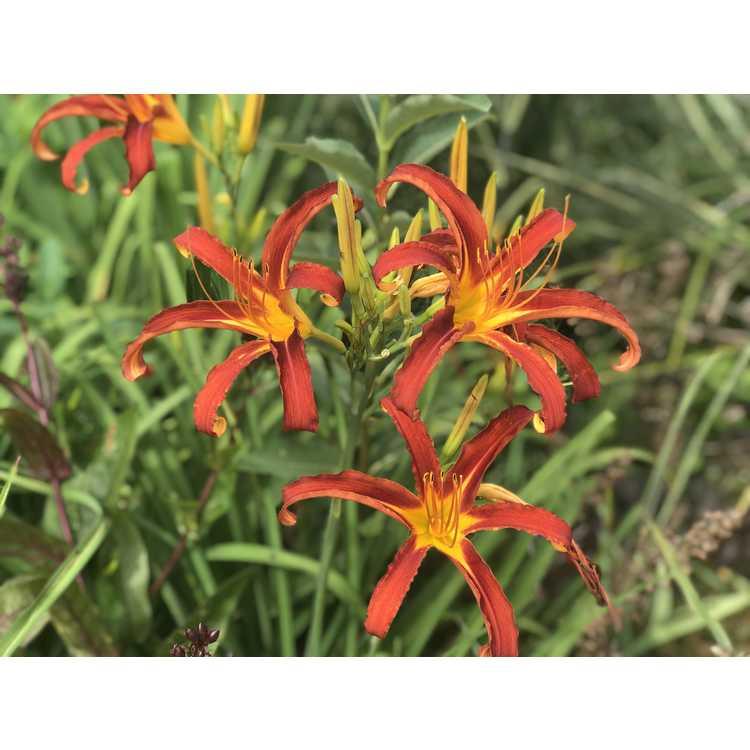 Hemerocallis Nonas Garnet Spider