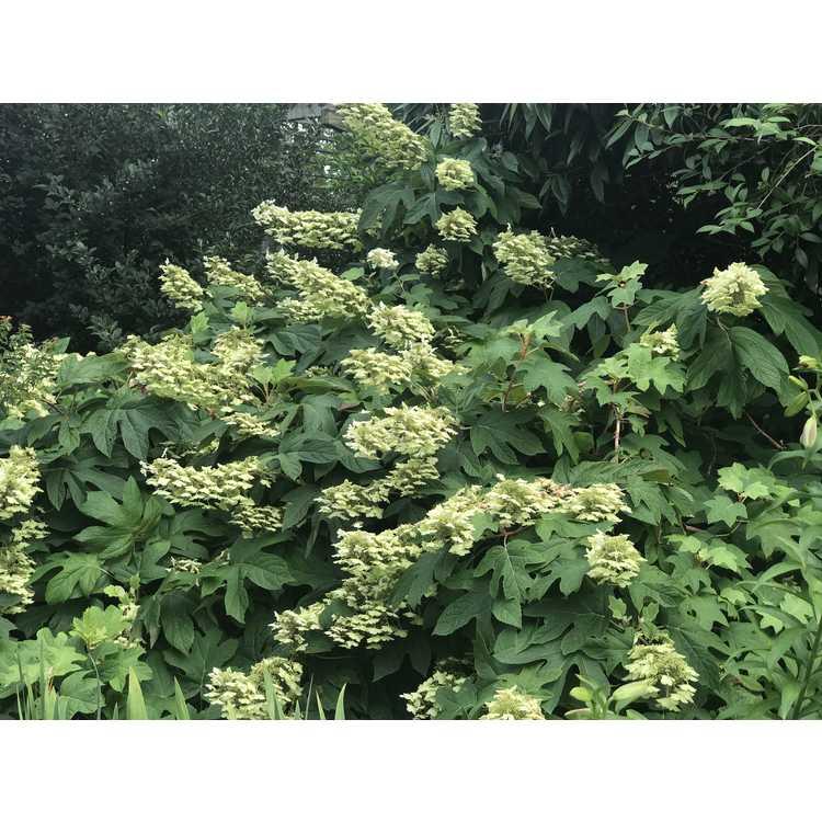 Hydrangea quercifolia Semmes Beauty