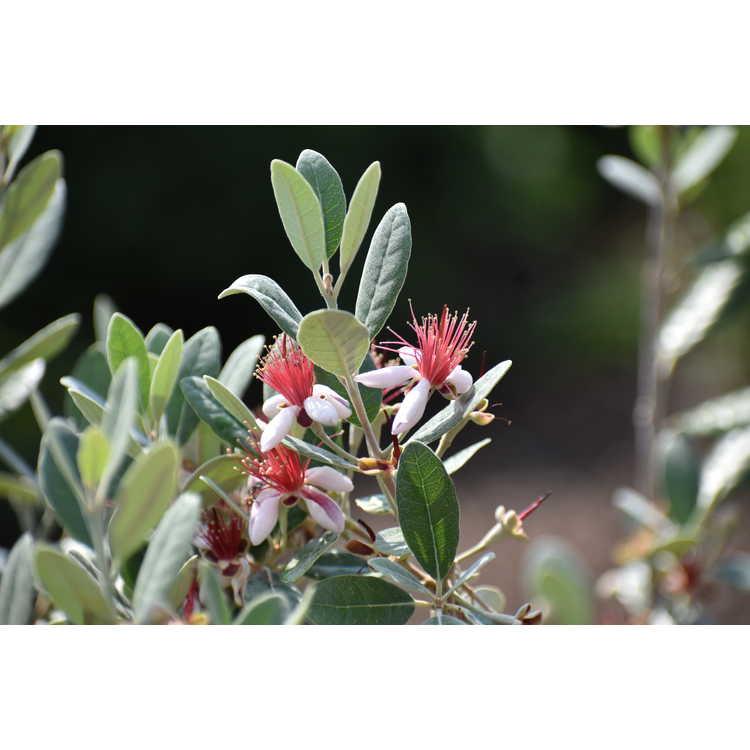 Acca sellowiana 'Kawatiri' - pineapple guava