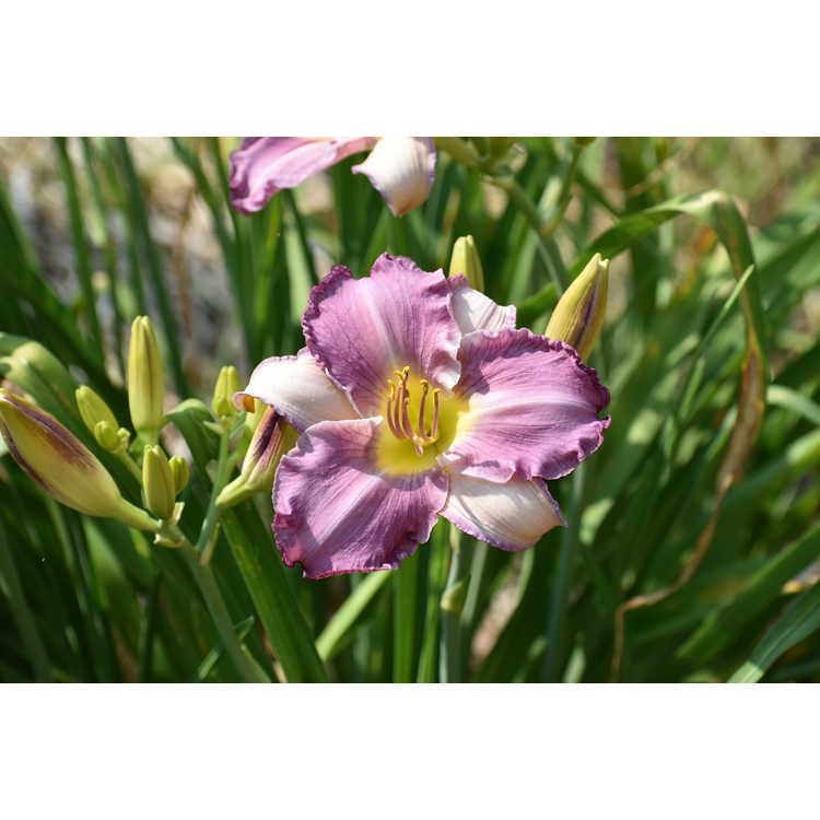 Hemerocallis 'Hint of Blue' - daylily