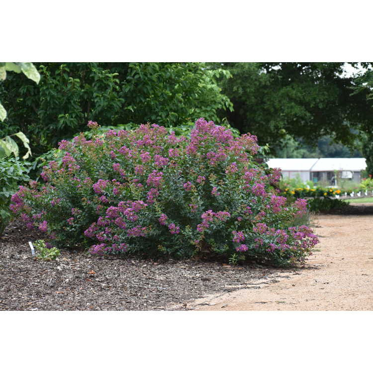 Lagerstroemia (Cp12ds479)