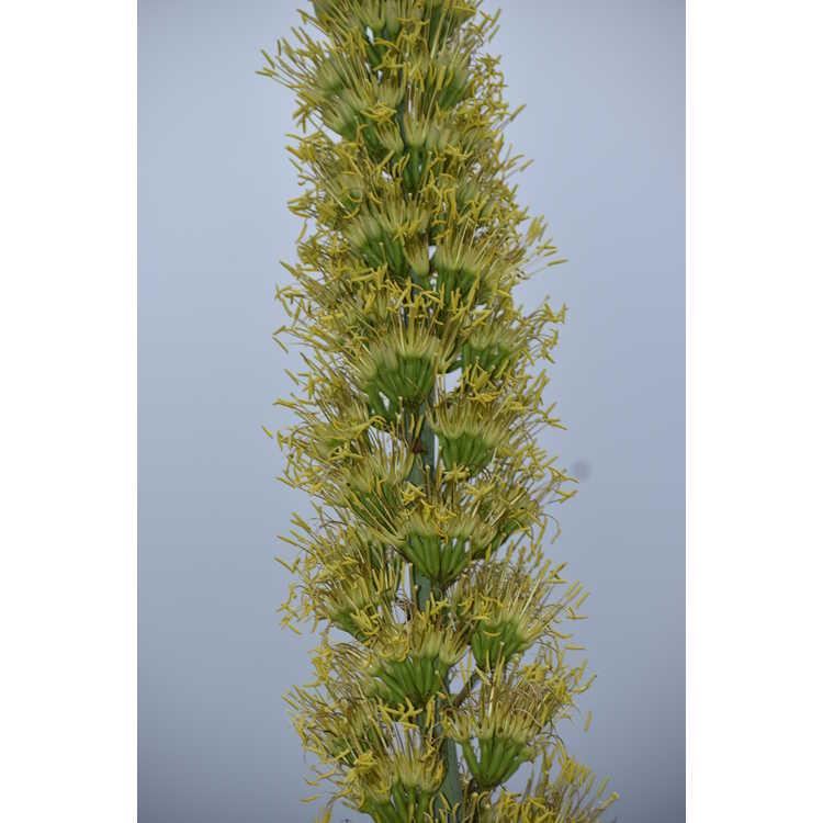 Agave lophantha × A. salmiana var. ferox 'Logan Calhoun' - century plant
