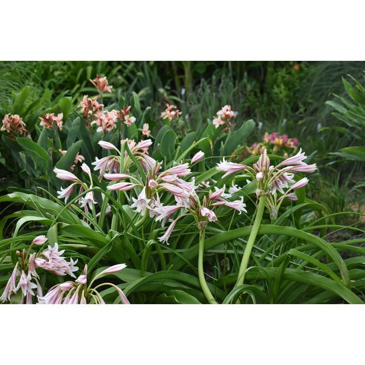 Crinum ×herbertii (red keel)
