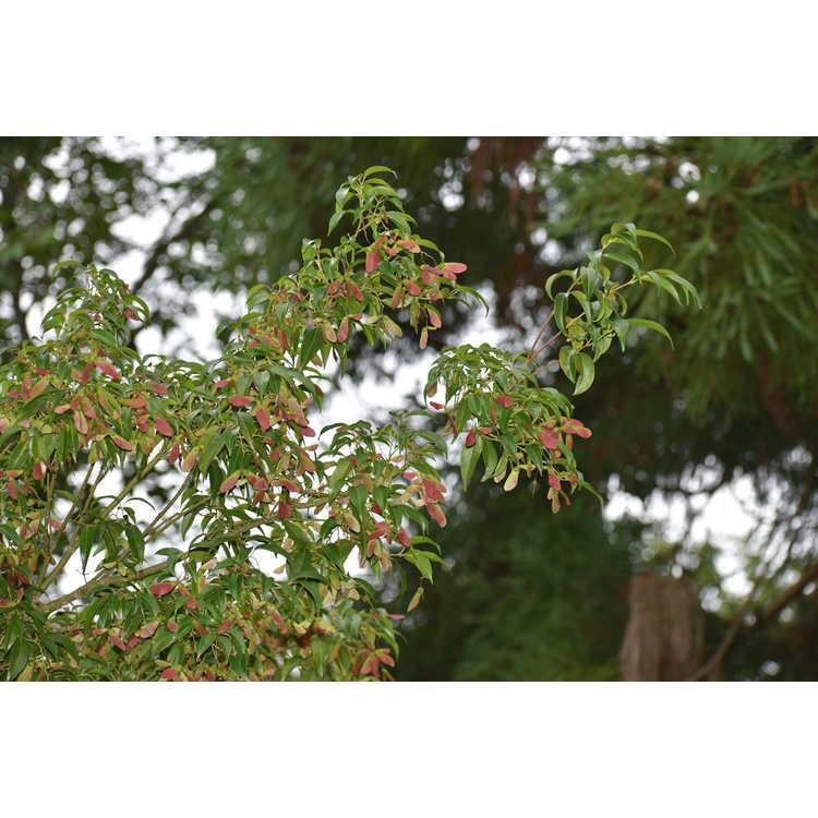 Acer fabri - Faber maple