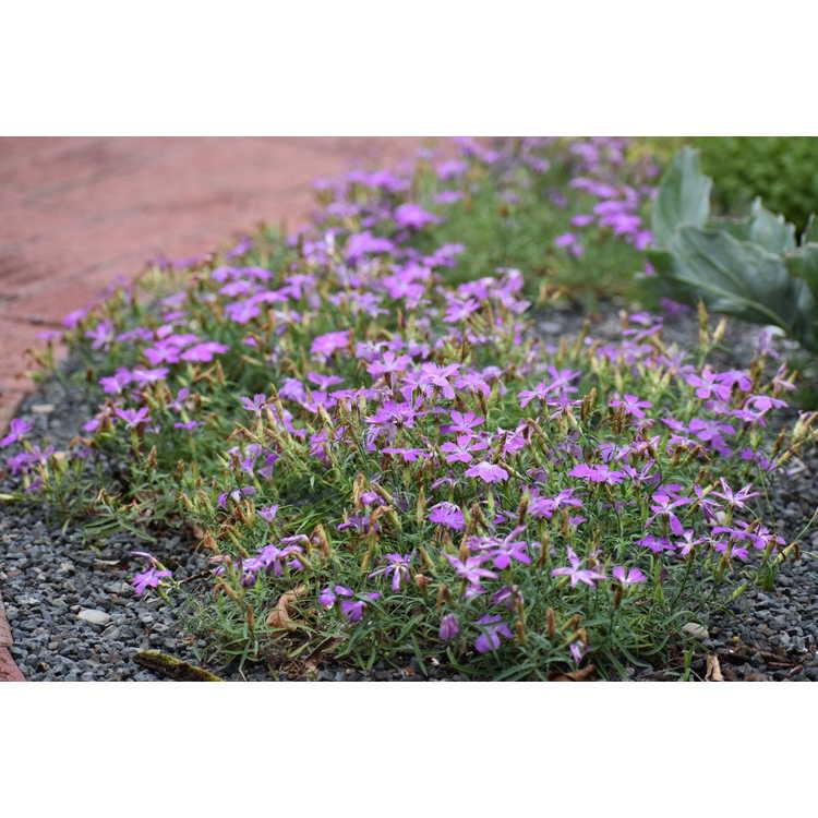 Dianthus seguieri - Sequier's pink