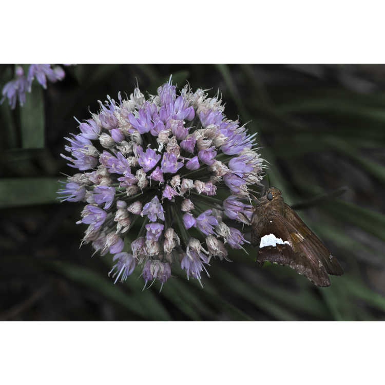 Allium 'Millennium' - ornamental onion