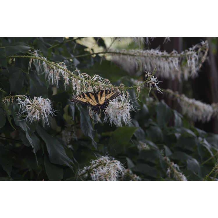Aesculus parviflora serotina