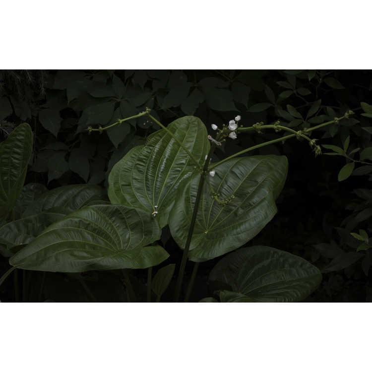 Echinodorus bracteatus 'Lantau Lady'