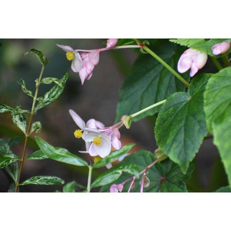 Begonia grandis Pink Teardrops