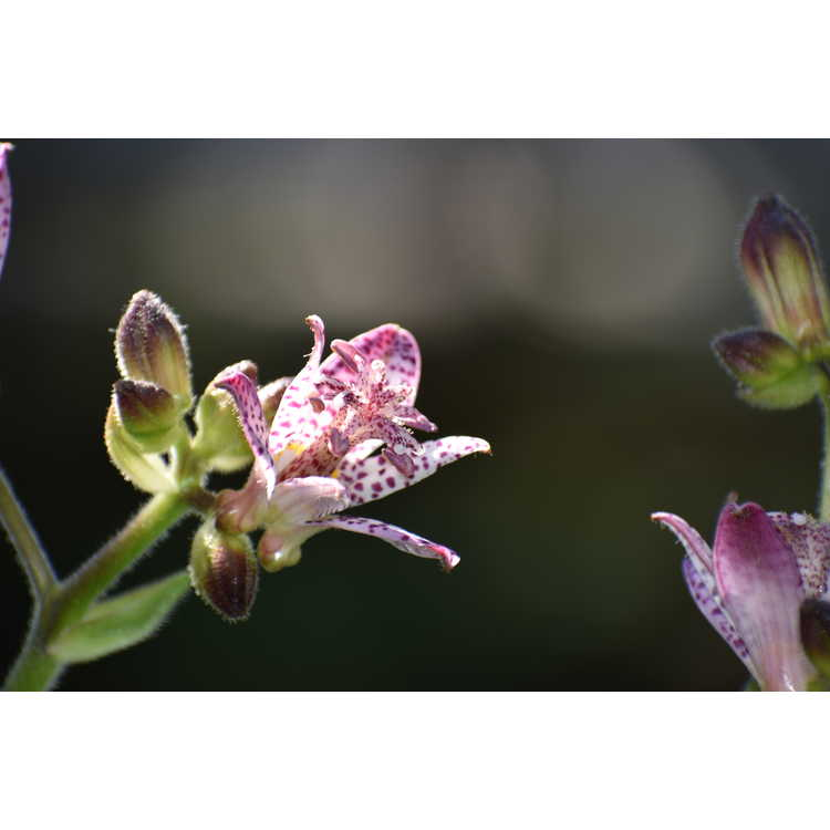 Tricyrtis 'Fluffy Orchid'
