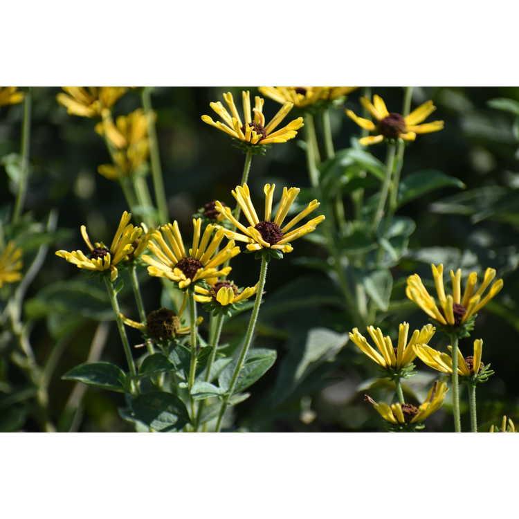 Rudbeckia subtomentosa 'Little Henry' - sweet coneflower