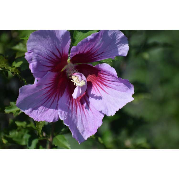 Hibiscus syriacus 'Gandini Santiago' - Purple Pillar upright rose-of-Sharon