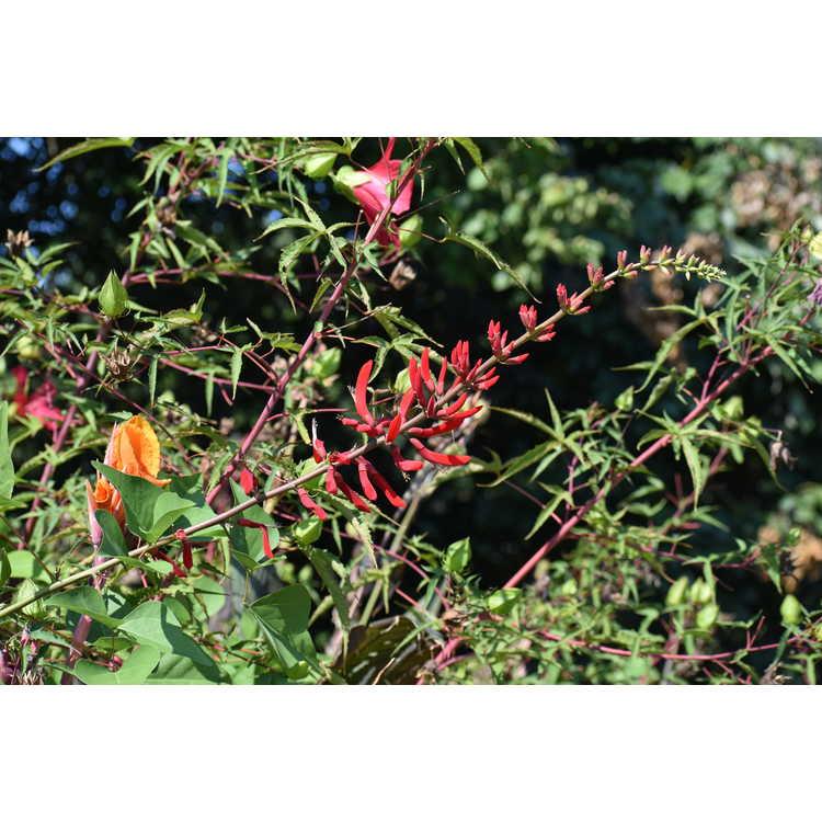 Erythrina ×bidwillii - coralbean hybrid