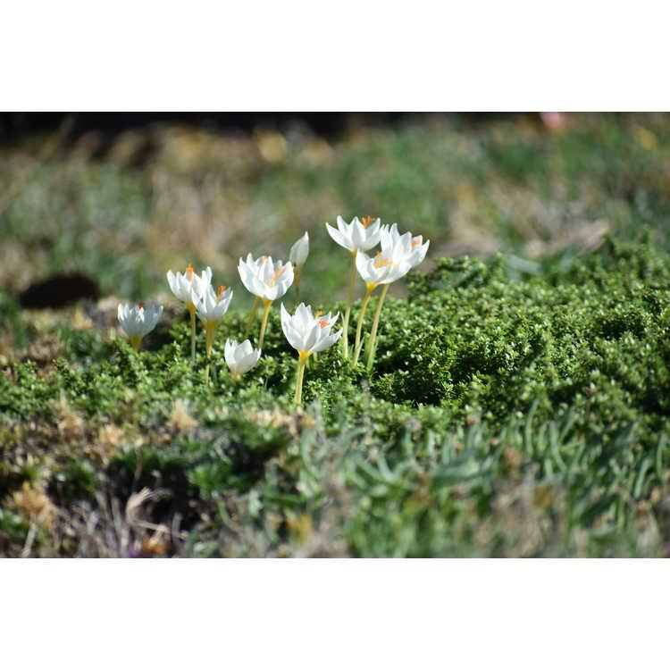 Crocus niveus (late blooming form)