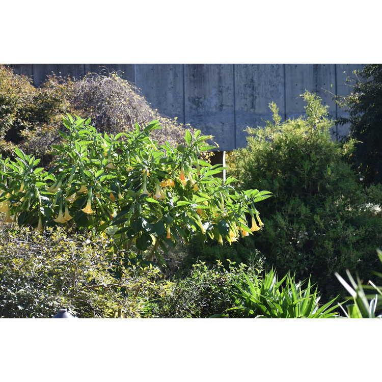 Brugmansia 'Inca Sun'