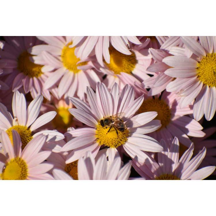 Chrysanthemum 'Sheffield Pink' - chrysanthemum