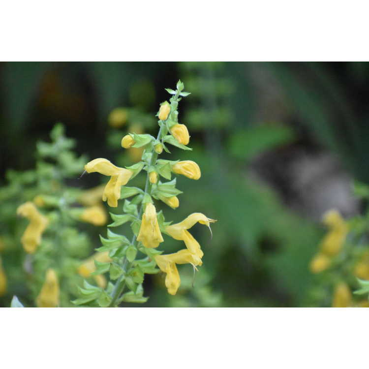 Salvia nipponica var. formosana - Taiwan woodland sage