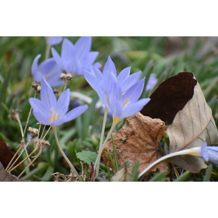 Crocus pulchellus