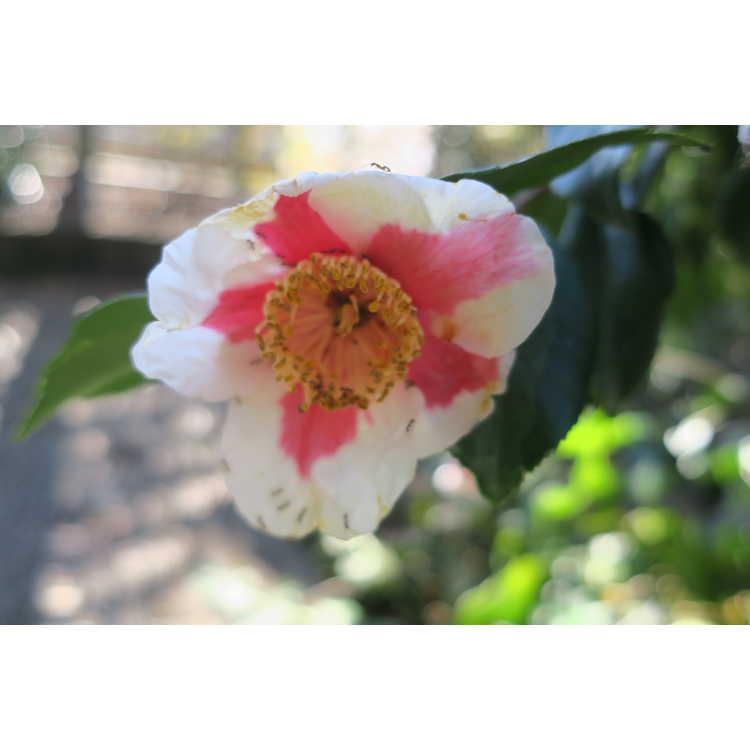 Camellia japonica 'Ta Fuku Benten' - variegated Japanese camellia
