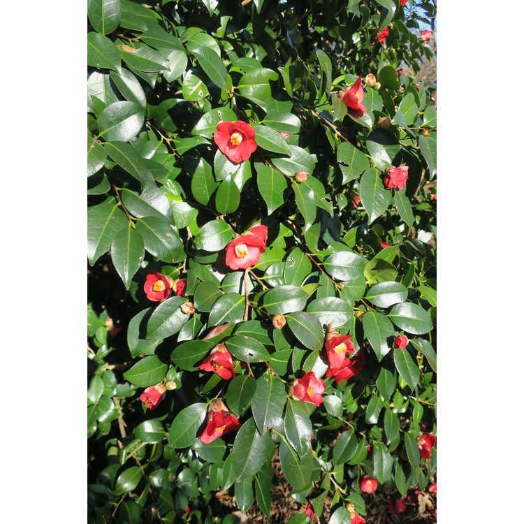 Camellia 'Winter's Star'