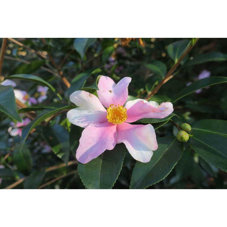 Camellia 'Yume' - hybrid camellia