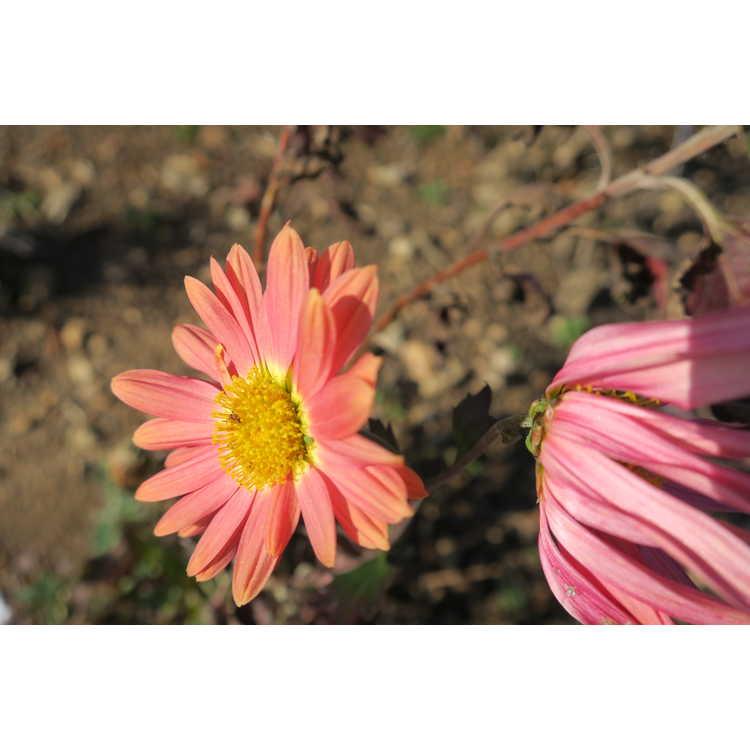 Chrysanthemum 'Cathy's Rust'