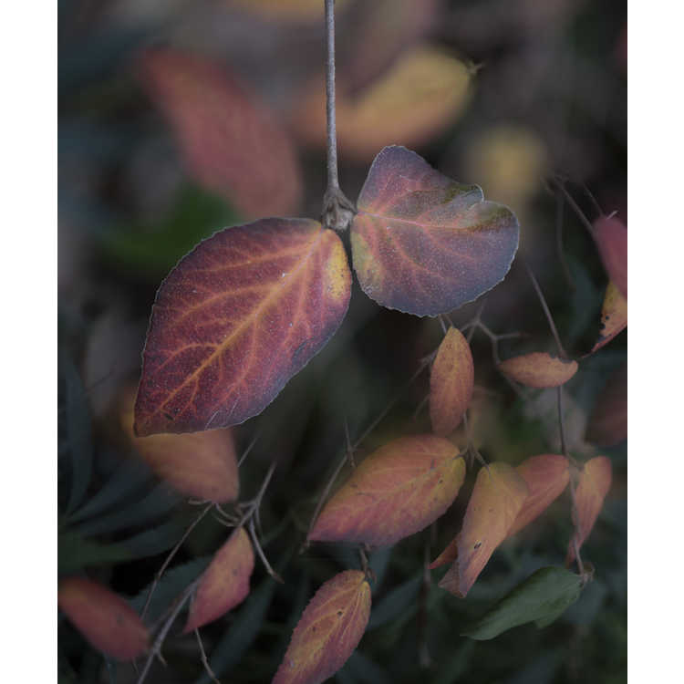 Viburnum ×burkwoodii 'Mohawk' - Egolf hybrid Burkwood viburnum