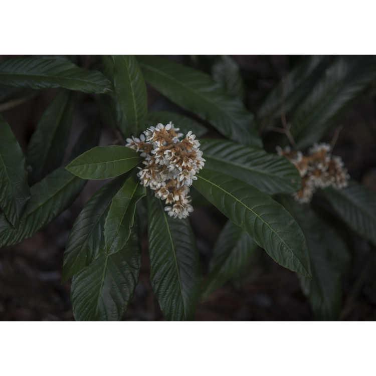 Eriobotrya japonica 'Coppertone'