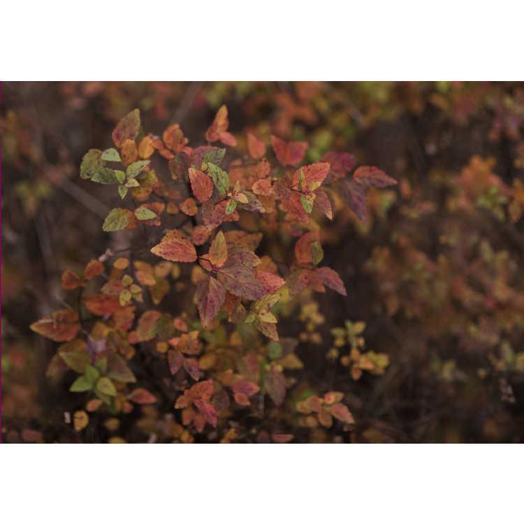 Spiraea japonica 'Mertyann'