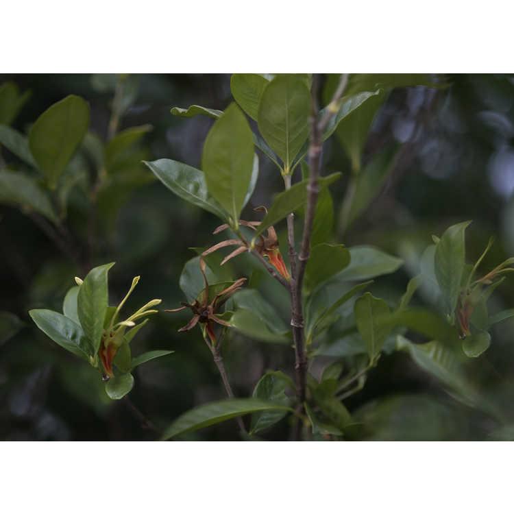 Gardenia jasminoides 'Michael' - Cape jessamine