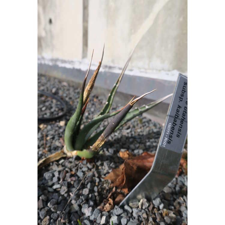 Agave utahensis subsp. kaibabensis