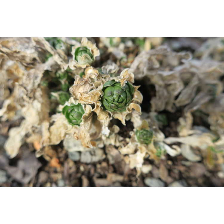 Orostachys malacophylla var. aggregata