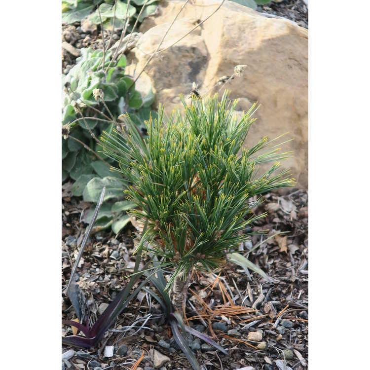 Pinus strobus 'Mary Sweeny'